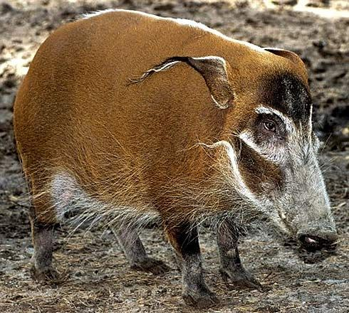 red river hog .....hell yeah