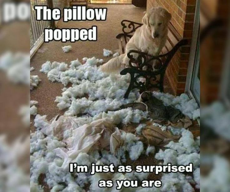 The pillow popped according to the dog, but is it true? #FridayFunny #Kommaweer