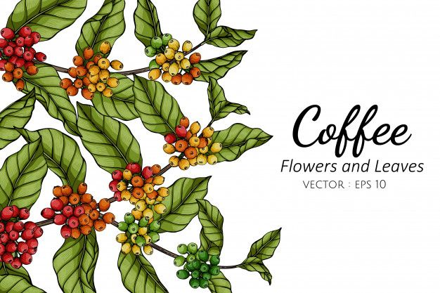 Coffee Flower And Leaf Drawing Illustrat Premium Vector Freepik Vector Background Floral Hand Leaf In 2020 Leaf Drawing Coffee Flower Flower Drawing