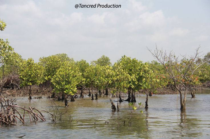 """– The role of healthy oceans in binding carbon"""" noted – is taken up at sea. Between 50-71% of this is captured by the ocean's vegetated """"Blue Carbon"""" habitats – mangroves, salt marshes, sea-grasses, and seaweed – which cover less than 0.5% of the seabed, but therefore play an important role in the world's climate and in mitigating change."""