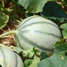 Découvrez toutes les astuces de jardinage et les règles de culture pour apprendre à produire de délicieux melons et pastèques bio, sans pesticides ni engrais chimiques