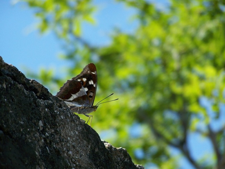 Butterfly from Varese