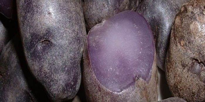 Paarse aardappel maakt korte metten met kankercellen