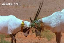 Arabian oryx display