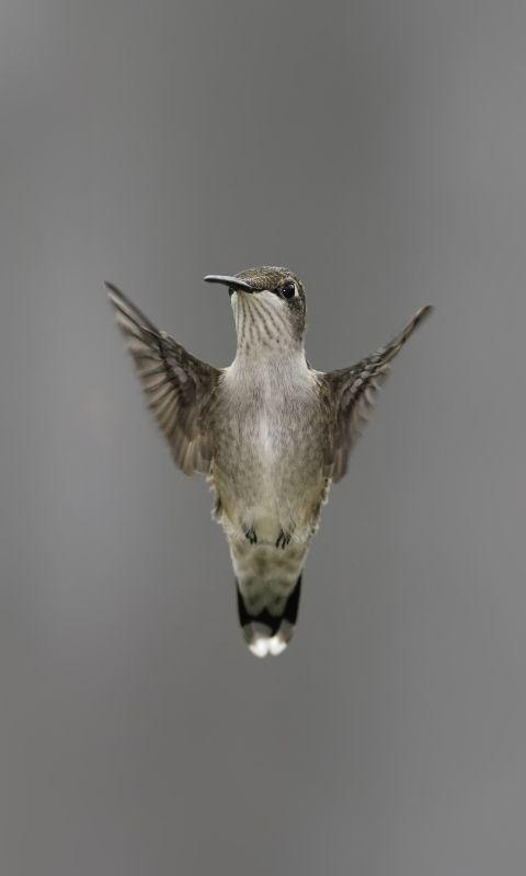 480x800 Wallpaper bird, wing, flapping, blurring