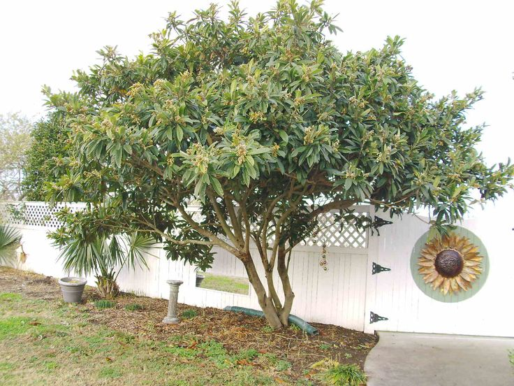 17 best images about garden screen plants on pinterest trees shrubs and in the spring - Planting fruit trees in the fall a garden full of vigor ...