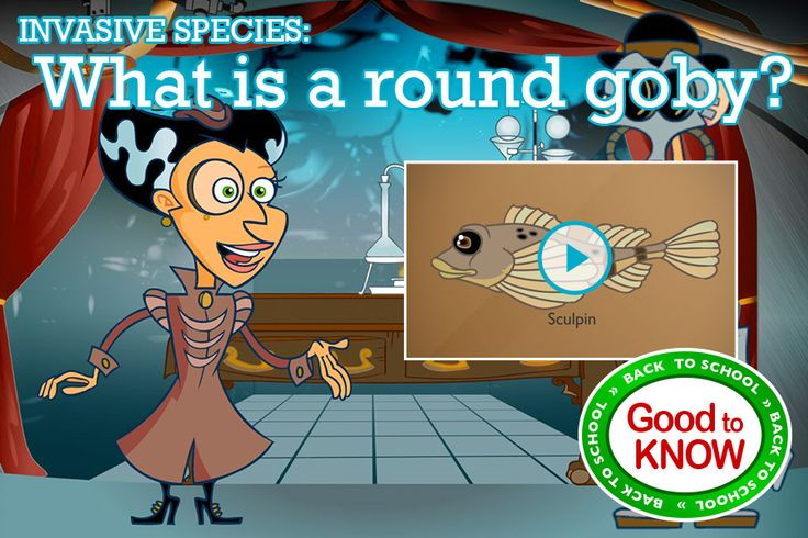 Invasive Species: What is a Round Goby? http://nautilusleaks.com/kidoons/webisodes/307-invasive-species-what-is-a-round-goby