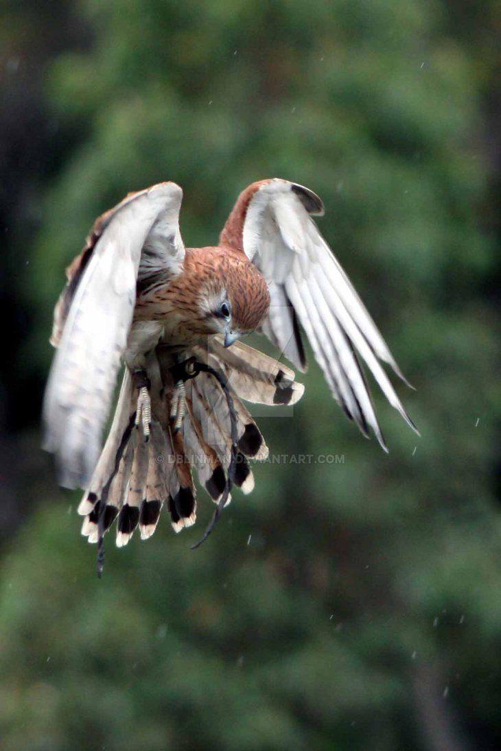 Hovering Kestrel 2 by DBlinman