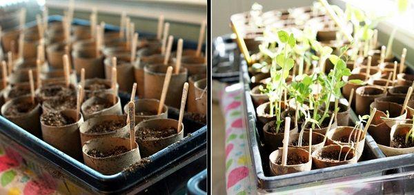 Огородникам на заметку: втулки — бесплатные и экологичные контейнеры для рассады. Зачем тратиться на пластиковые?!