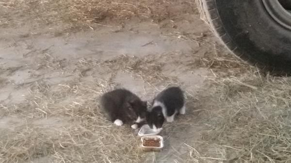 Vaihingen-Ensingen - 20 € - Mischlingskatze, Katzenbaby, männlich & weiblich, Wurf, entwurmt. Zahme Babykätzchen, 10 Wochen alt,einzen oder zu zweit abzugeben.