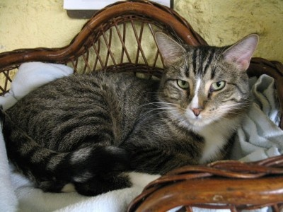 Studs is a handsome little brown tabby neutered male. He's got a lot of spunk and loves to play with wand toys. Consider adopting this great little boy!  Contact Cat Guardians at (630) 543-3395 or visit us at www.catguardians.org.