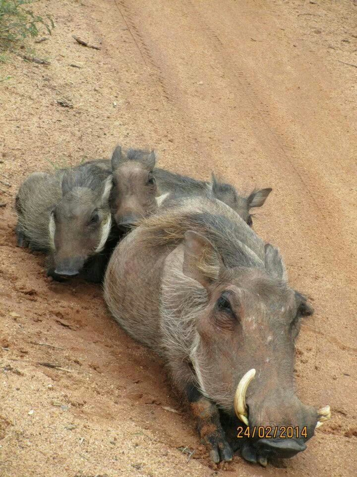 Warthog family at Mabalingwe Nature Reserve, Limpopo, South Africa
