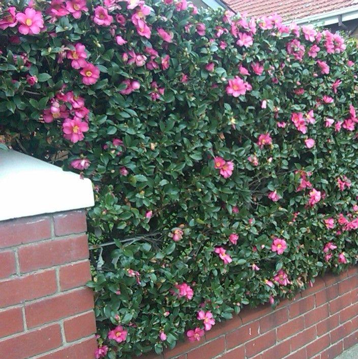 Sasanqua Camellia: Google Image Result for http://arbornet.com.au/images/Camellia%2520sasanqua%2520%2520IMG00010-20100717-1626.jpg
