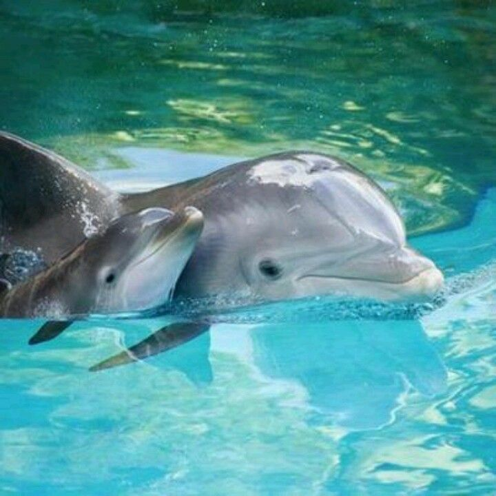 Baby dolphin sticking close to mom...Mommy dolphin and baby dolphin together...So cute!