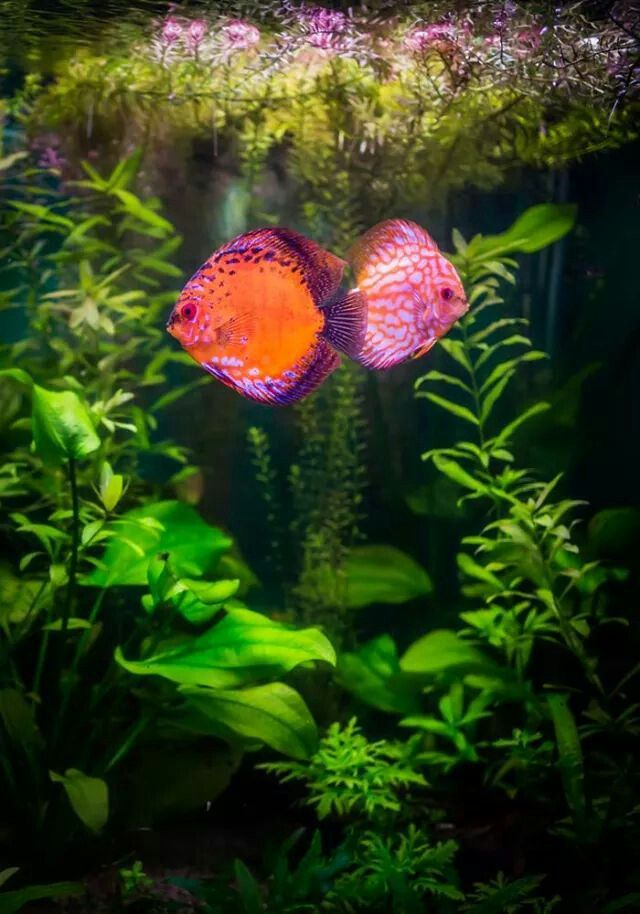 163 best images about cpt nemo 39 s tank on pinterest for Pink fish tank