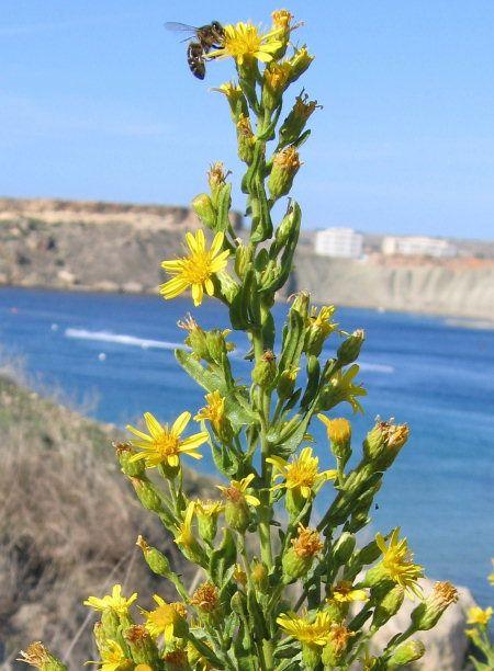 Dittrichia viscosa  / False Yellowhead / Tulliera komuni