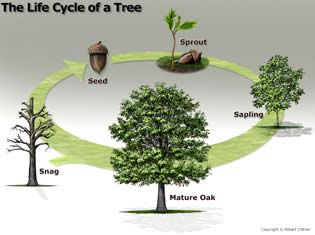 life cycle of a tree | Texas A&M Forest Service - Trees of Texas - How Trees Grow