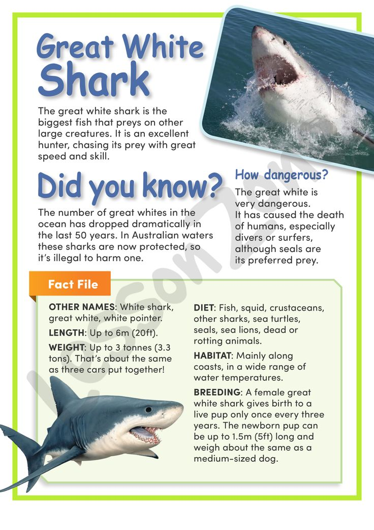 This article, 'Great White Shark' provides information about the size, habitat, life cycle, diet and behaviour of the great white shark. It provides a detailed Fact File of statistics and also displays illustrations and photographs in full colour of the shark's appearance and behaviour. Includes a map of migration. For this 2 page download, visit http://lessonzone.com.au/great-white-shark/