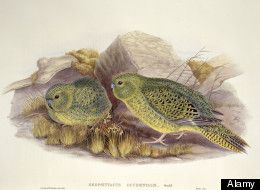 Night Parrot, Nocturnal Bird In Australia, Seen Alive For First Time In Over A Century  |  Posted: 07/05/2013  SYDNEY, July 5 (Reuters) - A nocturnal Australian parrot that hops like a kangaroo and had not been seen alive for more than a century has not only been seen but has been photographed, a naturalist said on Friday, but he is keeping the whereabouts a secret.  http://www.huffingtonpost.com/2013/07/05/night-parrot-australia_n_3548811.html