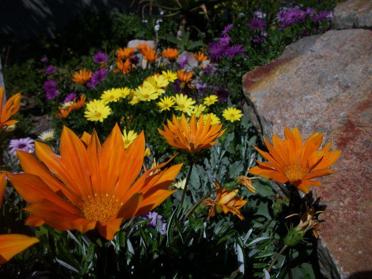 Wild indigenous daisy..Arctotis species. Onrus, Hermanus.