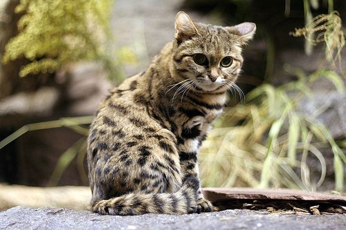 The black-footed cat is native to southern Africa. | We Need To Talk About The Smallest Wild African Cat