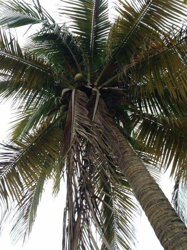 Sanandres Islas - Palmera