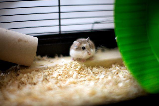 My Roborovski Dwarf Hamsters | Flickr - Photo Sharing!
