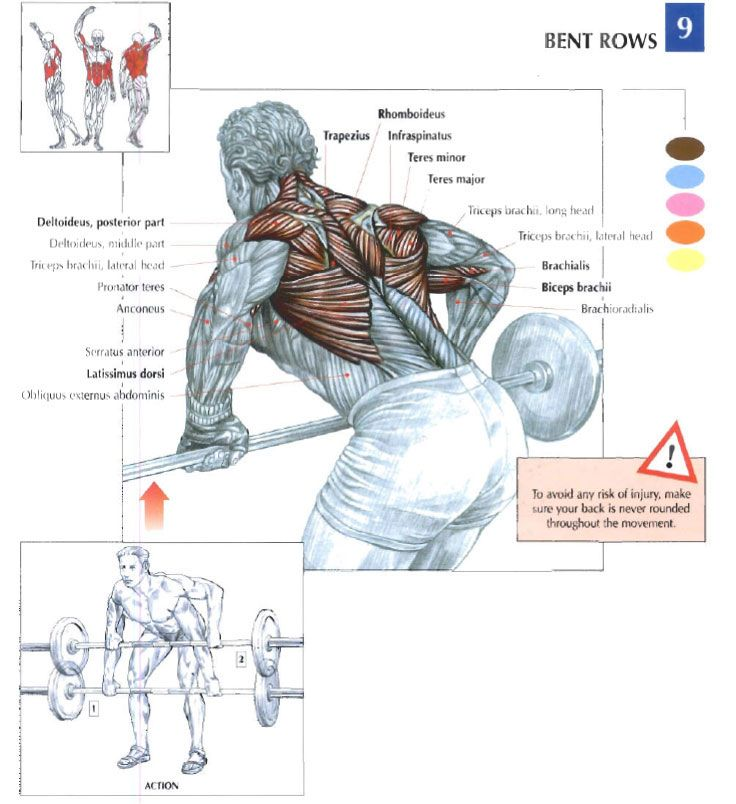 Barbell Bent Over Rows Muscle Group Illustration