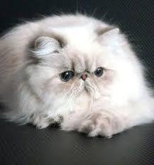 Resultado de imagen para gatos himalayos
