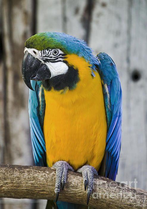 #Bird #Wildlife #Photography #Parrot #Arara #Macaw     Photography by Paulo Perestrelo 2012
