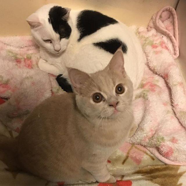 ・ ・ おはようニャン ・ ミロさん、最近甘えん坊でスリスリしてくるけど相変わらず抱っこ嫌いです ミッキーはこの場所で寝てばかり😺 ・ ・ #ブリティッシュショートヘア #ブリショー #愛猫 #日本猫 #猫 #ねこ #ねこ部 #ねこすたぐらむ #ねこ好き #ねことの暮らし #関西ねこ部 #にゃんこ #多頭飼い #cat #cats #catlover #catstagram #catsofinstagram #instacat #cute #family #britishcat #britishshorthair