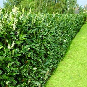 29 Best Images About Hedges On Pinterest Hedges Raised Beds And Shrubs