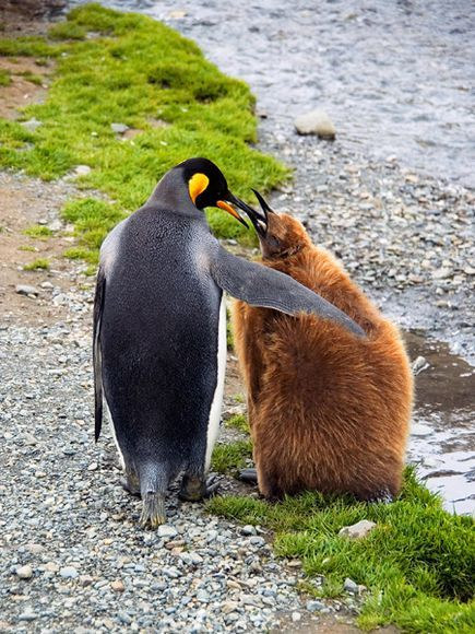 King Penguin and Chick, South Georgia Island. This Island has king penguins, and, in this location, there is a colony of a quarter million of the wonderful, colorful animals. Here a mother king penguin guided her chick, which still sports its somewhat comical-looking baby feathers.