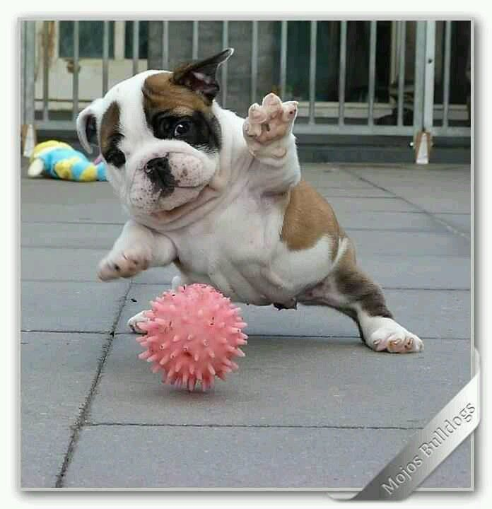 Funny baby bulldog pictures