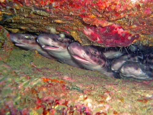Coral Cat Sharks