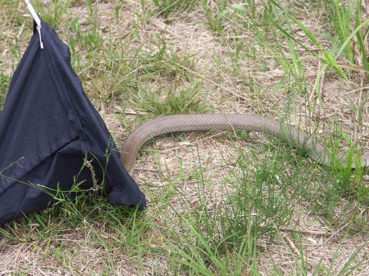 Release of a 6' Australian eastern brown. (Snakes, reptiles).