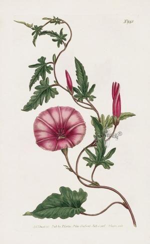 William Curtis Botanical Prints by erika