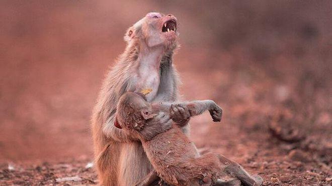 Biliyor muydun ? /// Anne maymun, yavrusu için gözyaşı döktü