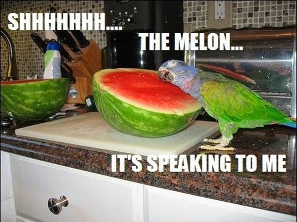 Don't know why I laughed as hard as I did... my bird jumps into the popcorn bowl. He's scared of watermelon (along with a million other things).