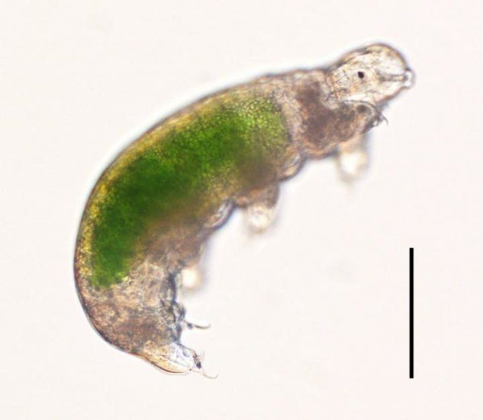 Tardigrades (water bears) were successfully revived and reproduced after having been frozen for over 30 years. A moss sample collected in Antarctica in Nov. 1983, stored at -20°C, was thawed in May 2014. Two individuals and a separate egg retrieved from the thawed sample were revived, thereby providing the longest record of survival for tardigrades as animals or eggs. Subsequently, one of the revived tardigrades and the hatchling repeatedly reproduced after recovering from their long-term…