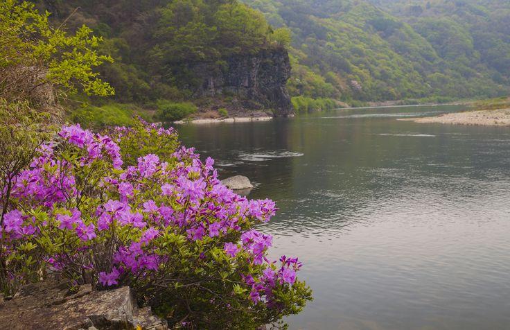 도산면 가송리 수달래(2015. 4 .30.)