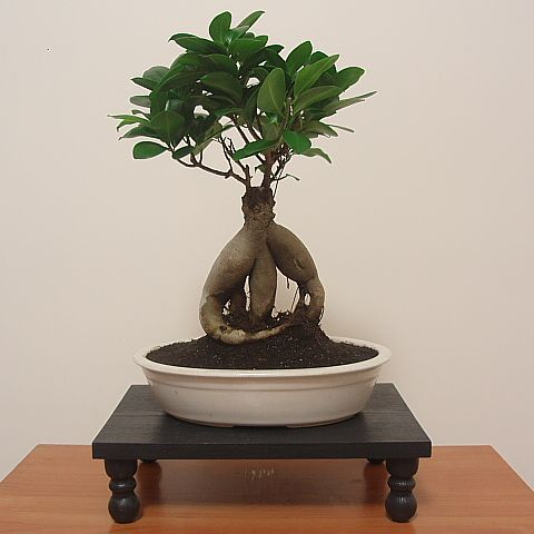 best 25 ficus ginseng bonsai ideas on pinterest bonsai. Black Bedroom Furniture Sets. Home Design Ideas