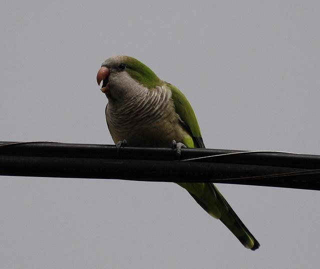 56 best images about quaker parrots on pinterest funny
