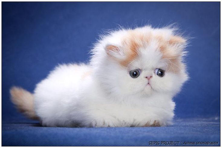 Alfenloch Himalayan and Persian kittens, Ontario, Canada - 2014 Himalayan kittens and Persian kittens in chocolate, lilac and traditional co...
