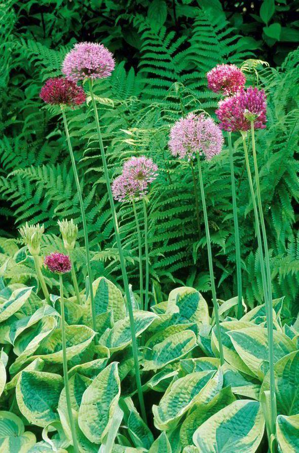 Hosta La Vista Alan Titchmarsh Tips On Planting Hostas In