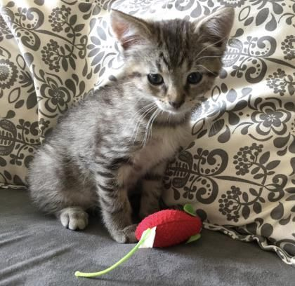 Shaggy is an adoptable Domestic Short Hair searching for a forever family near Toronto, ON. Use Petfinder to find adoptable pets in your area.