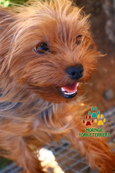 About The Yorkshire Terriers And Their History Yorkie Puppies For