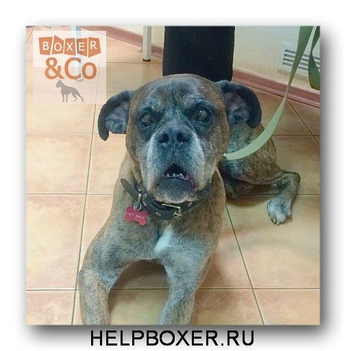 Картинки от БоксКО Welcome to Adopt a Boxer Rescue