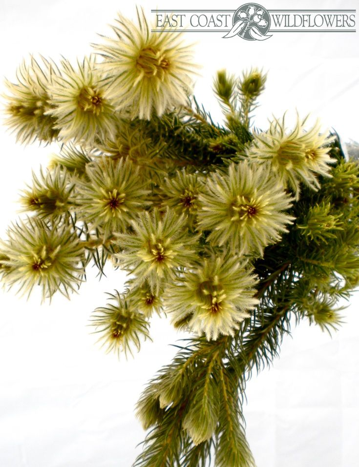 Phylica - Available May, Sept, Oct. Soft and fluffy like baby birds' feathers, this native Australian wildflower is gorgeous for vintage wedding bouquets