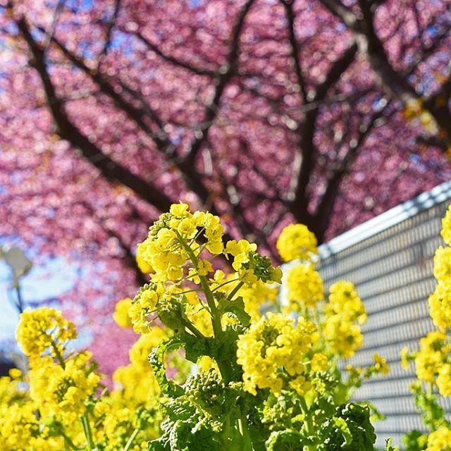 【cabrioletducati】さんのInstagramをピンしています。 《* ------------------- 京急三崎口近辺その10 * 京急の路線枠脇では、結構な距離が、ピンクと黄色のベルトになっていました。 * * 撮影地:神奈川県 * #三崎口 #三浦半島 #cherryblossoms # #満開 #桜 #CherryBlossom #河津桜 #ピンク #青空 #菜の花 ## #東京カメラ部 ## ######### #Japan #LOVE_NIPPON #lovers_nippon ## #Nikon #D7200 ## ################ #Yellow #黄色 #### #ツーリング #バイク #touring #オートバイ #motorcycle ### ######################》